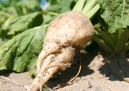 Michigan grown sugar beet
