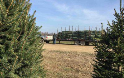 Christmas tree harvest